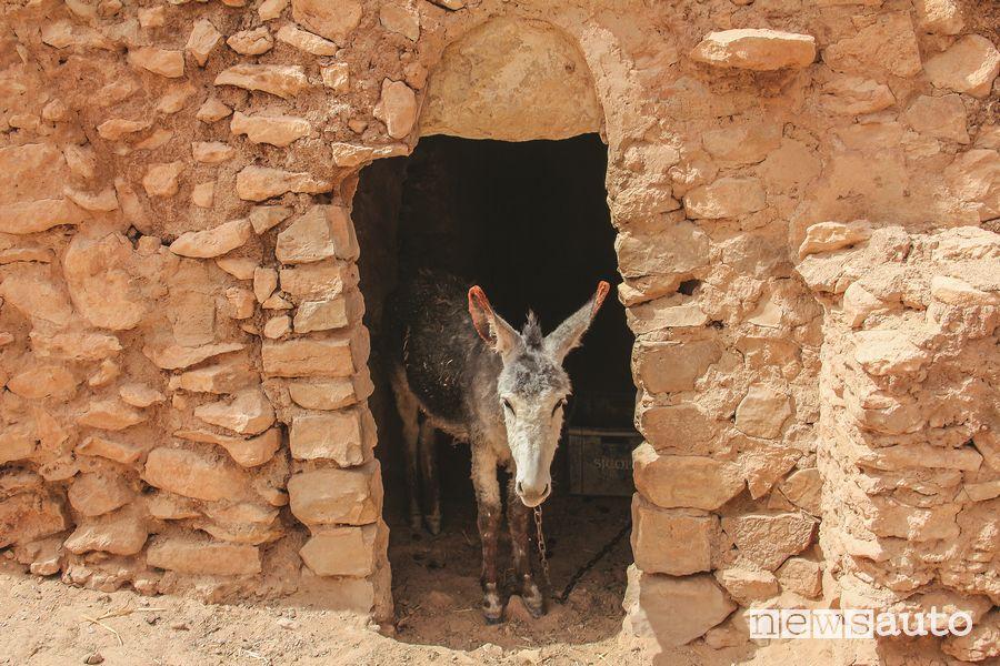 Un asino tra le mura di una stalla in Tunisia